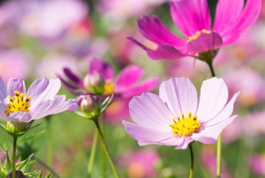 遅咲きコスモス2