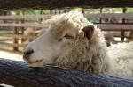 柵から顔を出す羊