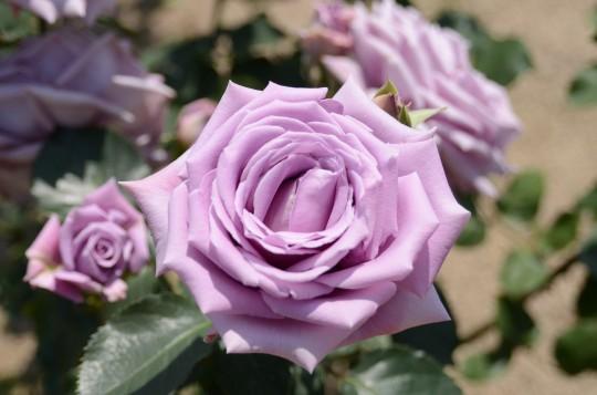 紫色のバラ
