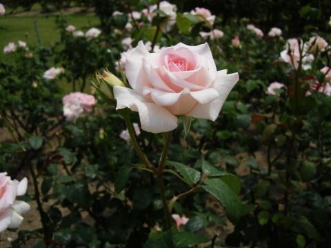 薔薇園のピンクのバラ2