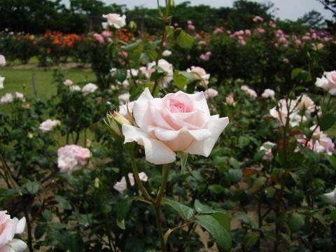薔薇園のピンクのバラ3