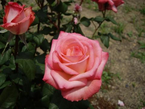薔薇園のピンクのバラ