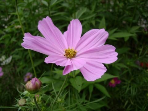 ピンクのコスモス1