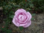薄紫色のバラ1