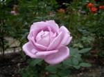 薄紫色のバラ2