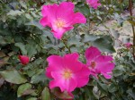 ピンクの一重咲きのバラ