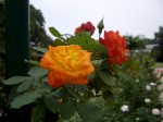 オレンジ色のバラ1