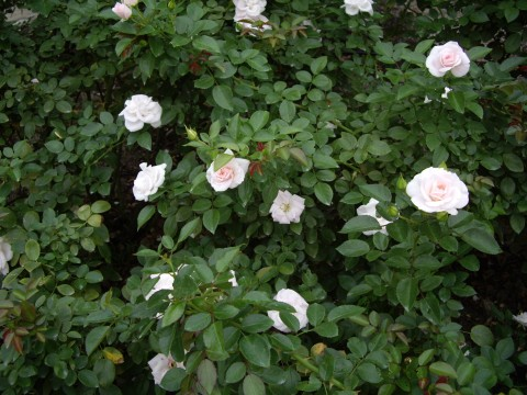 バラの木1