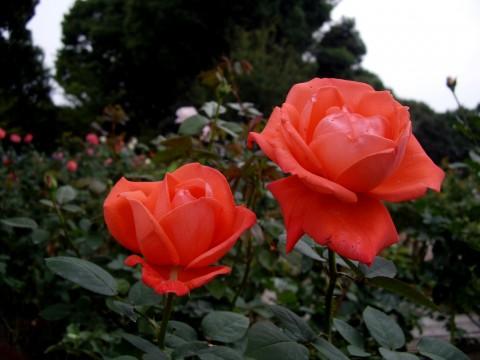 2輪のバラ