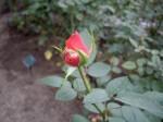 赤いバラのつぼみ1
