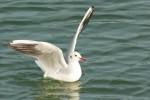 水鳥の着水1