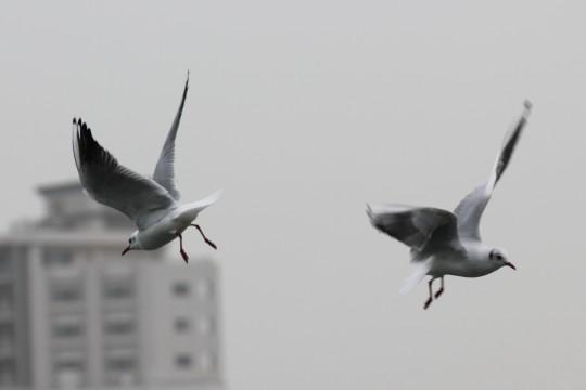 飛ぶ水鳥2