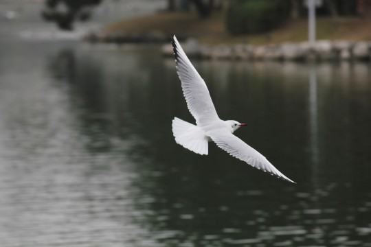 飛ぶ水鳥3