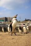 闊歩するペンギン