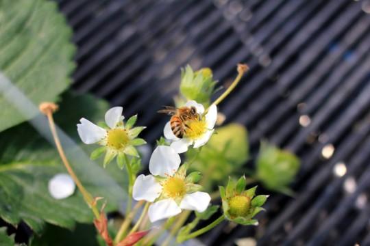 花の蜜を集めるミツバチ