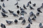 ハトがいっぱい