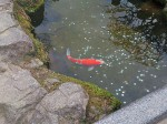 太宰府天満宮の鯉