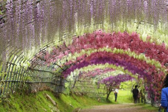 藤のトンネル3