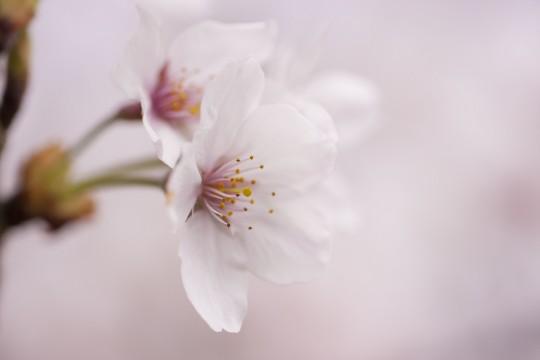 桜の花のアップ2