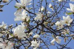 木蓮の花2