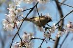 桜とすずめ1
