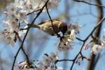 桜とすずめ2