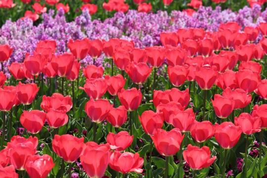 チューリップの花畑1