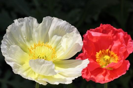 赤い花白い花