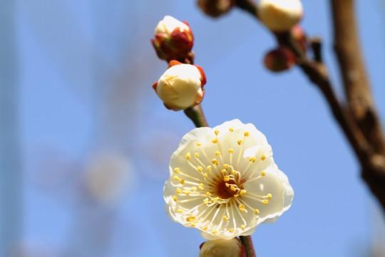 白いウメの花2