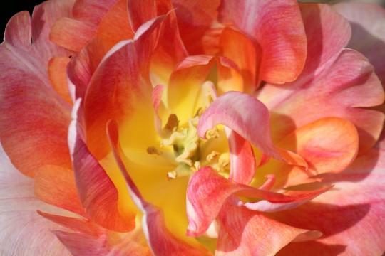 ピンクの花びら2