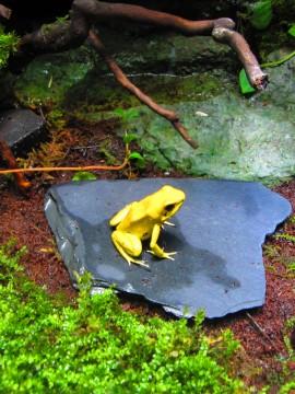 黄色のカエル