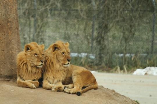 二匹のライオン