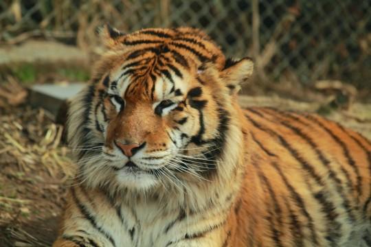 虎の画像 p1_2