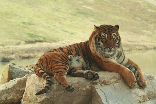 くつろぐ虎
