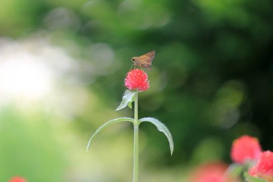 センニチコウに乗る蝶