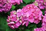 ピンクの紫陽花1