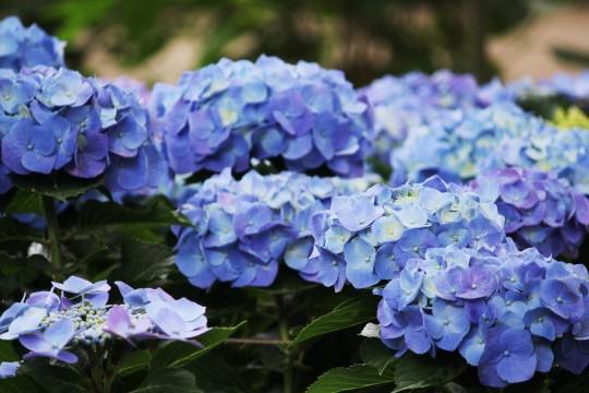 青い紫陽花1