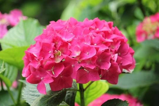 ピンクの紫陽花2