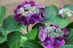 紫の紫陽花1