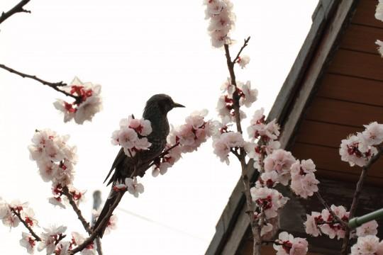早咲きの桜と鳥