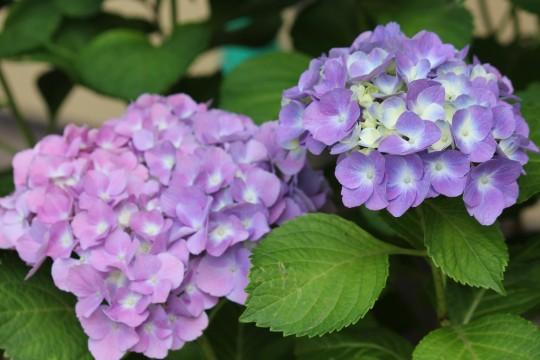 薄紫の紫陽花2