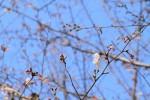 咲き始めの桜と蕾