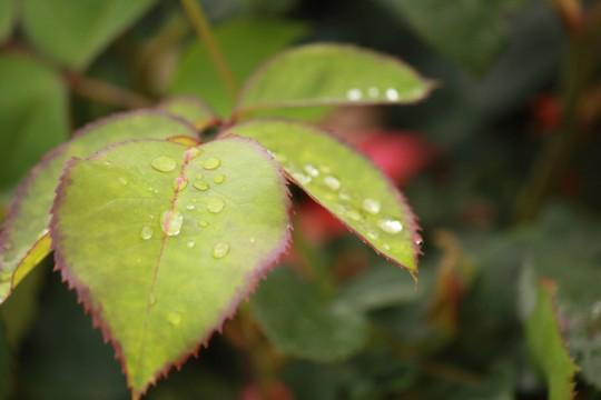 水滴の乗った葉っぱ