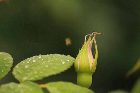 水滴の付いた葉っぱと薔薇の蕾