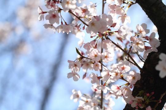 光が透けた桜2