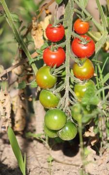 畑に生っていたミニトマト
