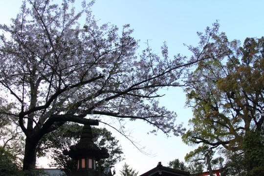 夕方の空と桜と灯篭