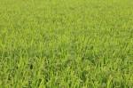収穫前の田んぼ