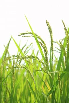 収穫間近の稲穂