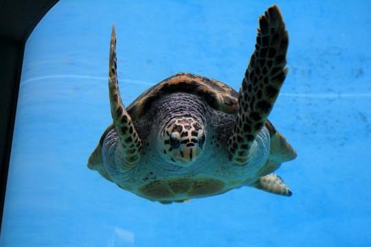 優雅に泳ぐウミガメ